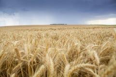Cereale del grano che coltiva agricoltura Immagini Stock Libere da Diritti