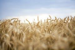 Cereale del grano che coltiva ora dorata di agricoltura Fotografia Stock Libera da Diritti