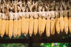 Cereale del mais con il fondo della sfuocatura Immagine Stock