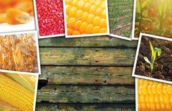 Cereale del mais nell'agricoltura, collage della foto Fotografia Stock Libera da Diritti