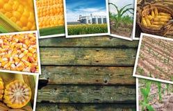 Cereale del mais nell'agricoltura, collage della foto Fotografia Stock
