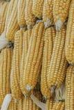 Cereale del primo piano sul gambo nel campo di grano Fotografie Stock Libere da Diritti