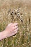 Cereale della tenuta della mano davanti al campo di grano Fotografia Stock Libera da Diritti
