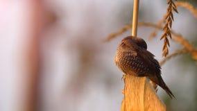Cereale di cattura del gambo del piccolo uccello L'uccello è munia breasted squamoso in campo di mais video d archivio