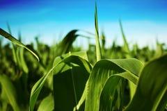 Cereale di estate Fotografia Stock