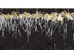 Cereale di germinazione immagine stock libera da diritti