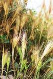 Cereale di Weath Fotografie Stock Libere da Diritti