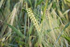 Cereale dourado do Secale do centeio, close-up Fotografia de Stock Royalty Free