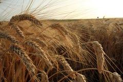 Cereale Droopy fotografia stock
