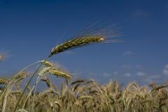 Cereale e cielo Fotografia Stock