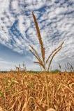 Cereale-gambo Immagine Stock