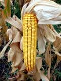 Cereale giallo Immagini Stock Libere da Diritti