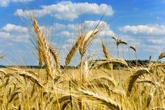 Cereale giallo del grano sul campo, coltivante pianta, agricoltura in Th Fotografia Stock