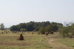 Cereale giallo maturo dopo la società del raccolto agricoltura Autunno Fotografia Stock Libera da Diritti