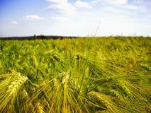 Cereale/grano dettaglio probabilmente giovane e verde del campo di agricoltura dell'orzo alla molla tarda Immagini Stock Libere da Diritti