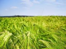 Cereale/grano dettaglio probabilmente giovane e verde del campo di agricoltura dell'orzo alla molla tarda Fotografie Stock