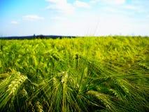Cereale/grano dettaglio probabilmente giovane e verde del campo di agricoltura dell'orzo alla molla tarda Immagine Stock