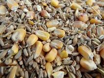 Cereale, grano, segale - sfondo naturale Immagini Stock