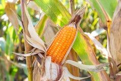 Cereale maturo nel campo Fotografia Stock Libera da Diritti