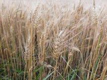 Cereale maturo sul campo immagini stock libere da diritti