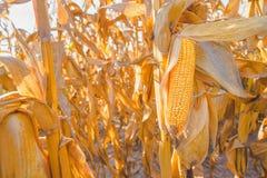 Cereale maturo sul gambo nel giacimento del mais Immagini Stock Libere da Diritti