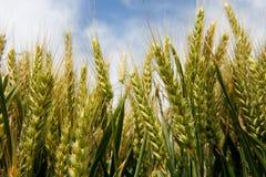 Cereale nei campi Fotografie Stock