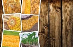 Cereale nell'agricoltura, collage della foto Immagine Stock