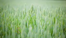 Cereale non maturo Fotografie Stock