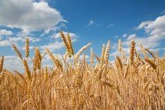 Cereale per il raccolto Immagini Stock Libere da Diritti