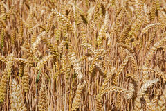 Cereale per il raccolto Immagine Stock