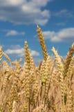 Cereale per il raccolto ed il cielo blu Immagini Stock