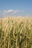 Cereale per la raccolta - particolare Immagini Stock Libere da Diritti