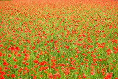 Cereale Poppy Field Fotografie Stock