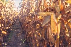 Cereale pronto del raccolto sul gambo nel giacimento del mais Immagini Stock
