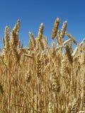 Cereale pronto per la raccolta fotografia stock