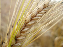 Cereale pronto per la raccolta fotografia stock libera da diritti