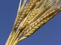 Cereale pronto per la raccolta Immagini Stock Libere da Diritti