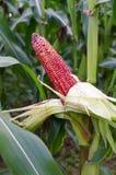 Cereale rosso fresco Fotografia Stock Libera da Diritti