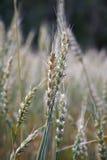 cereale secale 免版税库存照片