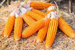 Cereale secco su paglia Fotografie Stock