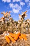 Cereale secco in un campo di grano Fotografie Stock Libere da Diritti