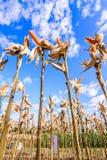 Cereale secco in un campo di grano Immagini Stock