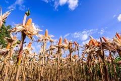 Cereale secco in un campo di grano Fotografia Stock