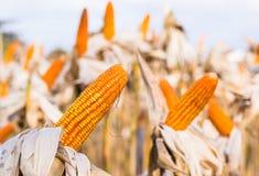 Cereale secco in un campo di grano Immagine Stock
