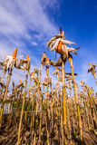 Cereale secco in un campo di grano Immagini Stock Libere da Diritti
