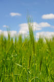 Cereale sul campo fotografia stock