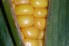 Cereale sul colpo del primo piano della pannocchia Immagine Stock Libera da Diritti
