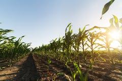 Cereale sul gambo nel campo prima del raccolto immagine stock libera da diritti