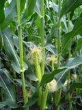 Cereale in un campo fotografie stock libere da diritti