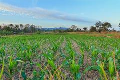 Cereale verde e cielo blu del paesaggio Fotografia Stock Libera da Diritti